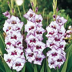 Purple Flame Gladiolus