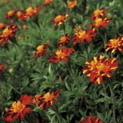 Red Metamorph Marigold