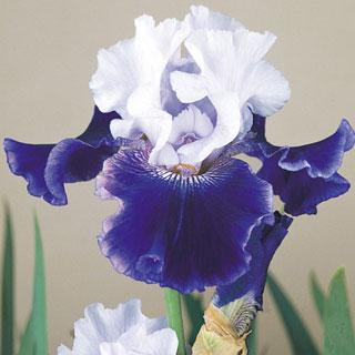 World Premier Bearded Iris Bulb