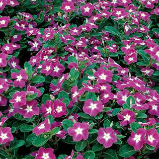 Vinca Stardust Orchid Hybrid