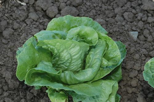 Lettuce, Anuenue, Iceberg, Organic