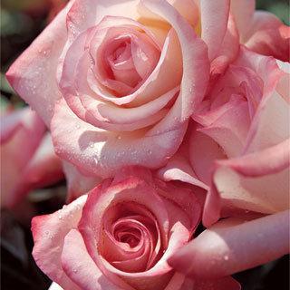 Gemini™ Coral Hybrid Tea Rose