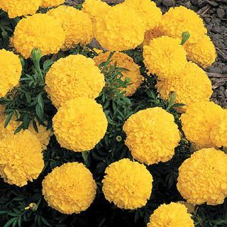 Marigold Inca II Yellow Hybrid