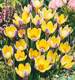SOLD OUT Advance Species Crocus - 10 bulbs
