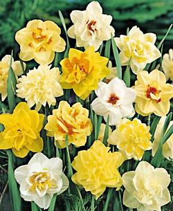 SOLD OUT Mixed Double Daffodil - 10 bulbs