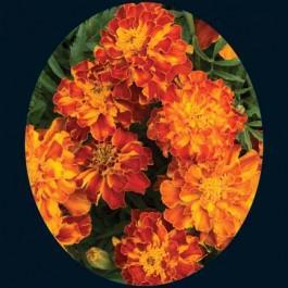 Brocade Mix Marigold