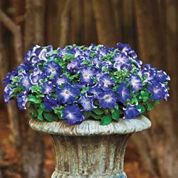 Petunia x hybrida 'Sophistica Blue Morn' F1 Hybrid
