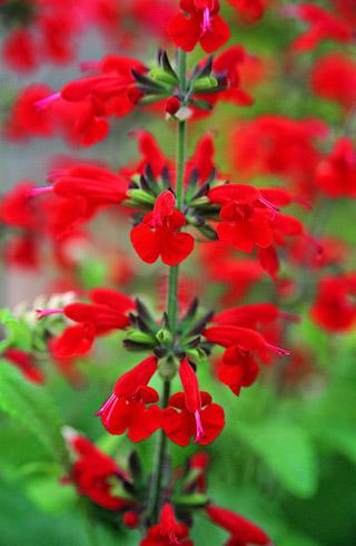Salvia Summer Jewel Red