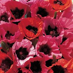 Poppy orientale 'Fruit Punch'