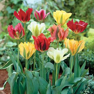 Green Mystery Mix Tulip Bulb - Pack of 5
