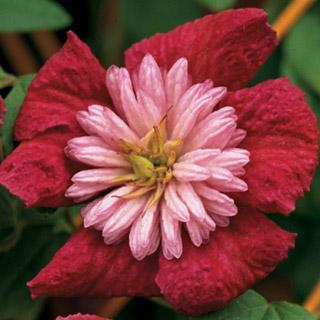 Avant-Garde™ Clematis Plant