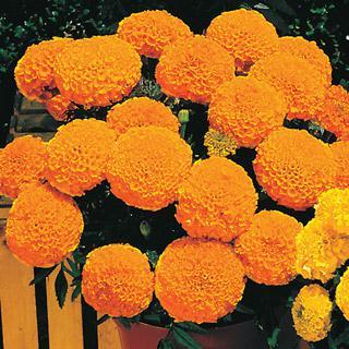 Marigold Antigua Orange Hybrid