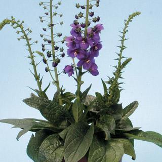 Verbascum 'Temptress Purple'