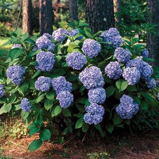 All Summer Beauty Hydrangea Shrub