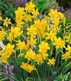 SOLD OUT Baby Moon Jonquilla Daffodil - 10 bulbs