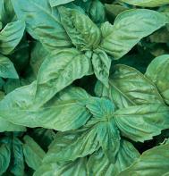 Italian Large Leaf (Pelleted) Basil