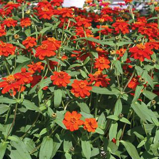 Zinnia 'Profusion Knee High Red'