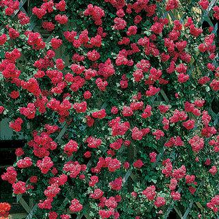 Blaze Improved Red Climbing Rose