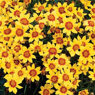 Gold Nugget Coreopsis Tickseed Plant