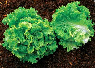 Lettuce Green Ice