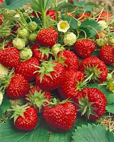 Ft. Laramie Everbearer Strawberry Plants - 10 root divisions