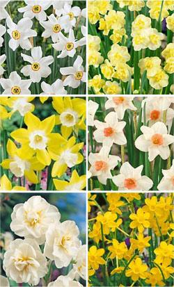 SOLD OUT Fragrant Daffodils Collection - 60 bulbs