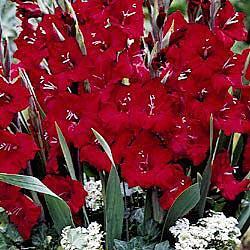 Tom Glamini® Dwarf Gladiolus