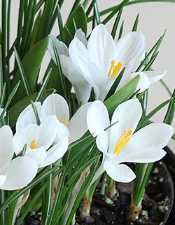 SOLD OUT Jeanne d' Arc Crocus - 10 bulbs