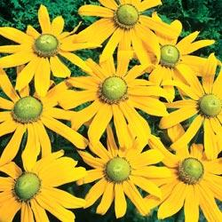 Rudbeckia h. 'Green Eyes'