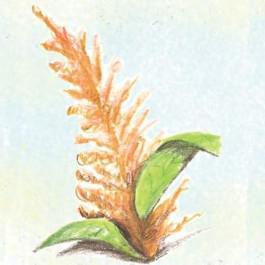Orange Giant Amaranth