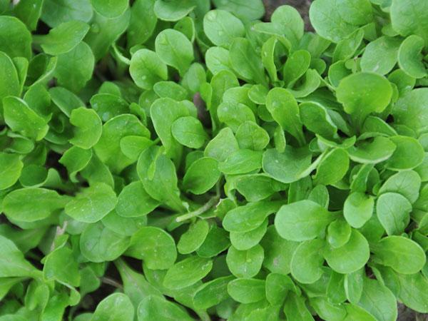 Corn Salad or Mache - Verte a Coeur Plein 2
