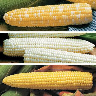 Triplesweet Corn Collection