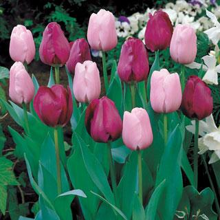 Imperial Tulip Mixture Bulb - Pack of 20