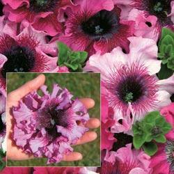 Petunia hybrida g. 'Superbissima Mixed'