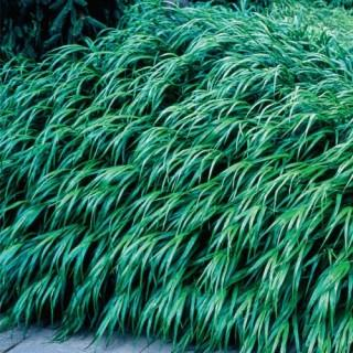 Hakone Forest Grass