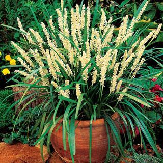 Monroe White Liriope Plant