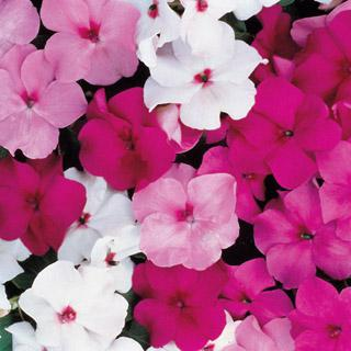 Impatiens Accent Mystic Hybrid Mix