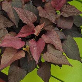 Mardi Gras Sweet Potato Vine Annual Plants
