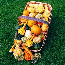 Gourds 'Autumn Glory'