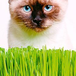 Cat Grass Avena sativa