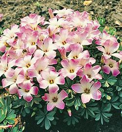 SOLD OUT Pink Carpet Oxalis - 25 bulbs