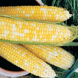 Honey & Cream (su) Hybrid Sweet Corn
