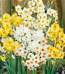 SOLD OUT Mixed Tazetta Daffodil - 10 bulbs
