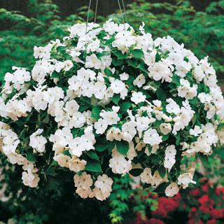 Impatiens Accent White Hybrid