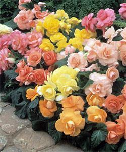 Mixed Pastel Roseform Begonia - 6 tubers