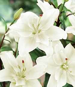 SOLD OUT Annemarie's Dream Double Asiatic Lily - 5 bulbs
