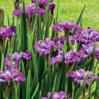 Strawberry Fair Siberian Iris