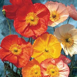 Champagne Bubbles Papaver Poppy Mix Plant
