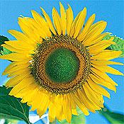 Tarahumara White Shelled Sunflower