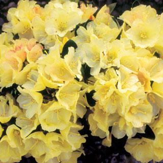 Lemon Dream Rhododendron Shrub